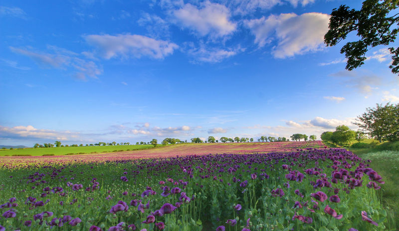 Agriculture Beauty In Nature Cloud - Sky Environment Field Flower Flower Head Flowerbed Flowering Plant Freshness Growth Land Landscape No People Opium Poppies Outdoors Plant Purple Rural Scene Scenics - Nature Sky Tranquil Scene Tranquility