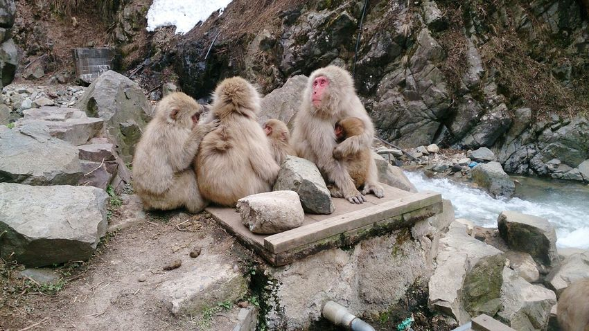 50+ Japanese Macaque Pictures HD   Download Authentic Images on EyeEm