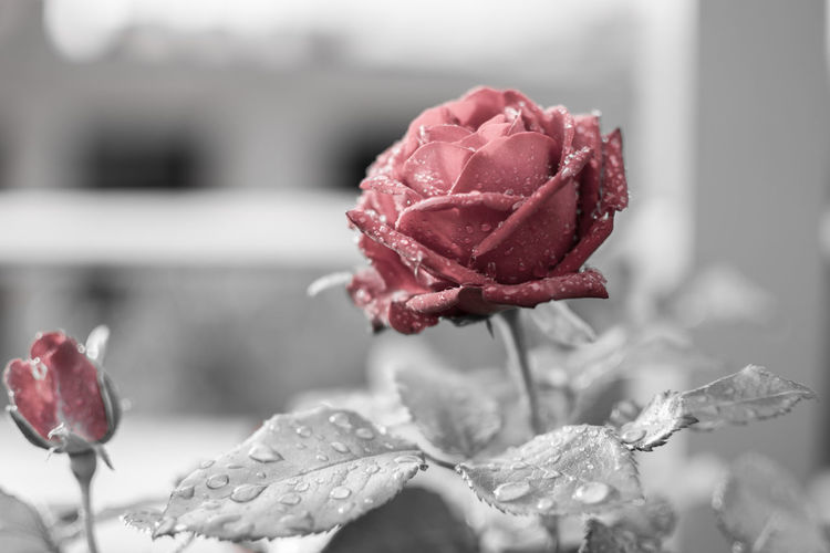 After rain Flower Flowering Plant Plant Beauty In Nature Vulnerability  Close-up Rosé Rose - Flower Fragility Freshness Petal Nature Growth Flower Head Inflorescence Focus On Foreground No People Day Outdoors Pink Color Sepal Droplet