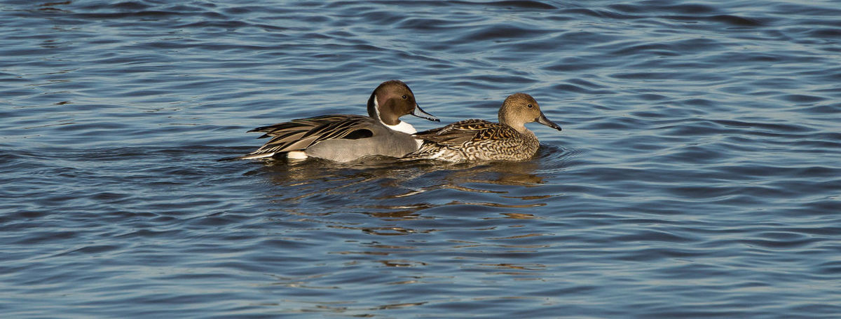 Nice sighting of a pair of Pintails on the lake. Pintail Ducks Animal Themes Animal Wildlife Animals In The Wild Bird Brown Day Duck Lake Nature No People Outdoors Pintail Swimming Togetherness Two Animals Water Water Bird Waterfront