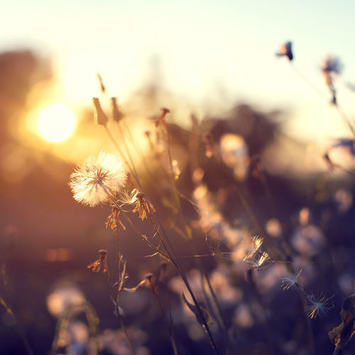 evening autumn nature background, beautiful meadow dandelion flowers in field on orange sunset. vintage filter effect, selective focus point, shallow depth of field Sunlight Beauty In Nature Close-up Countryside Dandelion Day Evening Field Flower Flower Head Flowers Fragility Freshness Growth Nature No People Outdoors Plant Rural Scene Shillouette Sunset Tranquility Vintage Wild Flowers