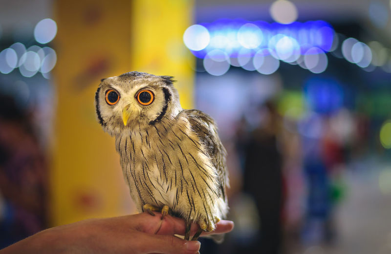 Cropped hand holding owl at night