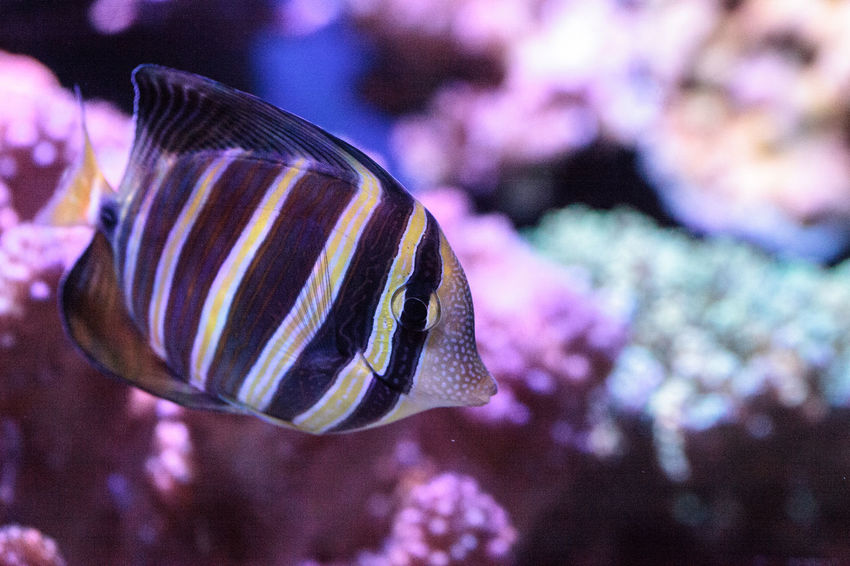 Sailfin tang Zebrasoma veliferum swims over a coral reef Animal Themes Animals In The Wild Close-up Coral Reef Day Fish Focus On Foreground Marine Fish Nature No People One Animal Sailfin Tang Sea Life UnderSea Underwater Zebrasoma Veliferum