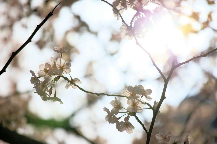 目が悪くなりそう😅💦 Taking Photos Enjoying Life サクラ シルエット部 Flowers Flower Collection Flower Spring Flowers Cherry Tree 桜
