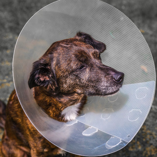 Dog with pet cone Elizabethan Collar Animal Themes Close-up Day Dog Dog Cap Dog Hood Domestic Animals High Angle View Mammal No People One Animal Outdoors Pet Cone Pets Plastic Cone Protective Cap