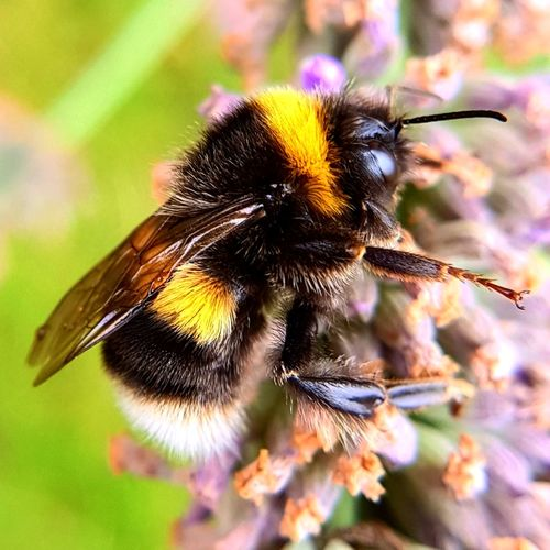 visitors Bumblebee Bees Bees And Flowers Flower Insect Purple Close-up Plant Honey Bee