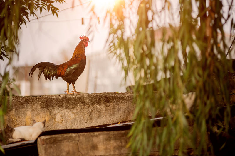 Animal Animal Themes Bird Chicken Chicken - Bird Day Domestic Domestic Animals Livestock Male Animal Mammal Nature No People One Animal Outdoors Pets Plant Rooster Selective Focus Vertebrate