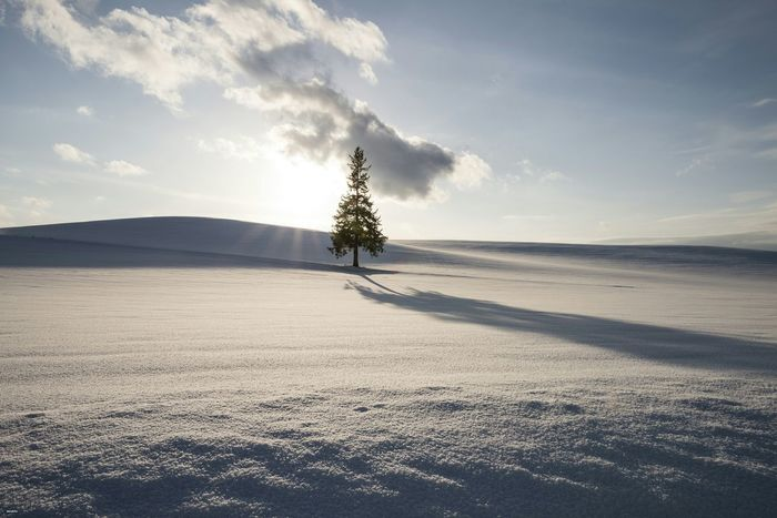 Japan Hokkaido Biei クリスマスツリーの木