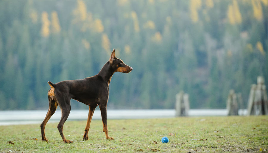 Red Doberman PInscher dog Dogs Red Animal Themes Cropped Ears Day Dog Domestic Animals Mammal Nature No People One Animal Outdoors Purebred Tan
