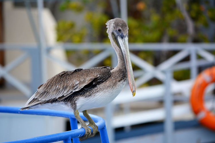 A young pelican on a blue fence. Bleu Fence Lonely Animal Bird Curacao Dutch Carribean Pelican Pelican Birds Sea Bird Willemstad Young Pelican