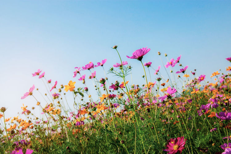 Cosmos of colorful in field with the blue sky. ASIA Asian  Autumn Background Beautiful Beauty Bloom Blooming Blossom Blue Botany Bright Color Colorful Cosmos Countryside Environment Field Fields Flora Floral Flower Flowers Fresh Garden Grass Green Landscape Meadow Nature Outdoor Park Pastel Pink Plant Purple Retro Rural Sky Spring Summer Sunlight Sunny Sunrise Sunset Thailand Vintage White Wild Yellow