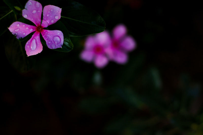 After the rains. Flower Flowering Plant Fragility Beauty In Nature Freshness Vulnerability  Plant Petal Close-up Growth Nature Pink Color Flower Head Inflorescence No People Outdoors Focus On Foreground Leaf Plant Part Night Purple Spring