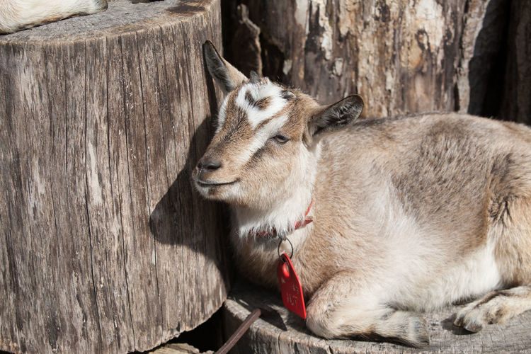 Goat relaxing on tree stump during sunny day