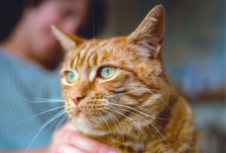 Close-up of ginger cat with man in background at home