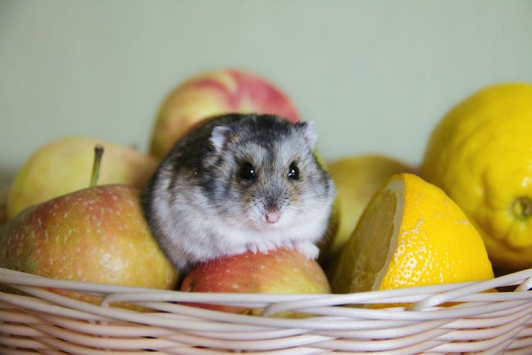 Animal Themes Pets Healthy Eating One Animal No People Domestic Animals Fruit Close-up Indoors  Mammal Freshness Day Food Nature Hamster Young Animal