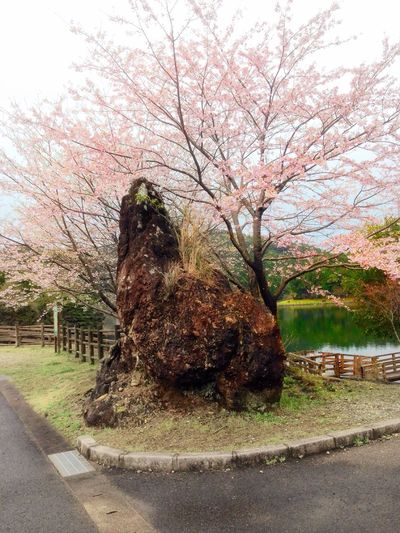 Rock Rock - Object Cherry Blossoms Spring2017 Tree Nature Growth Day Beauty In Nature No People Tranquility Outdoors Sky Grass Huge Saikai City Japan