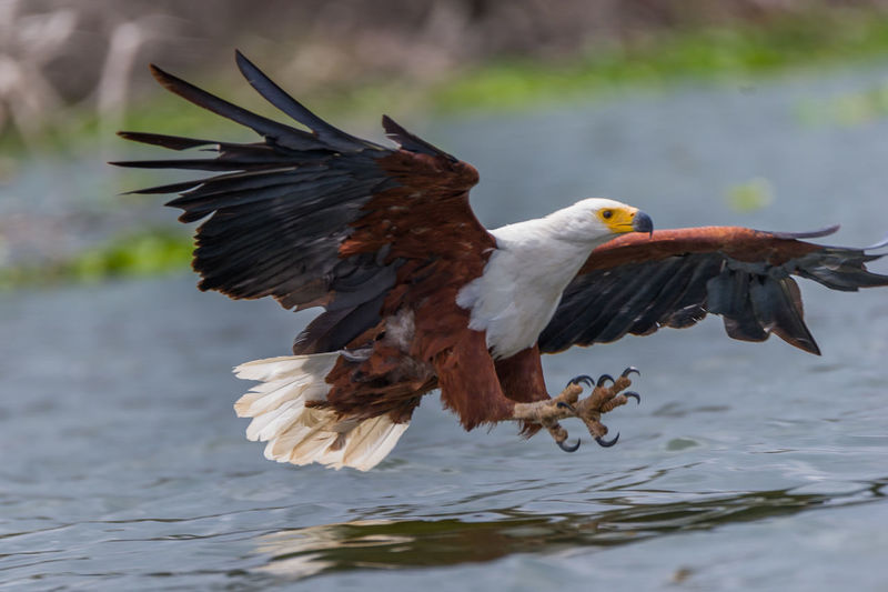 Close-up of eagle flying against blurred background