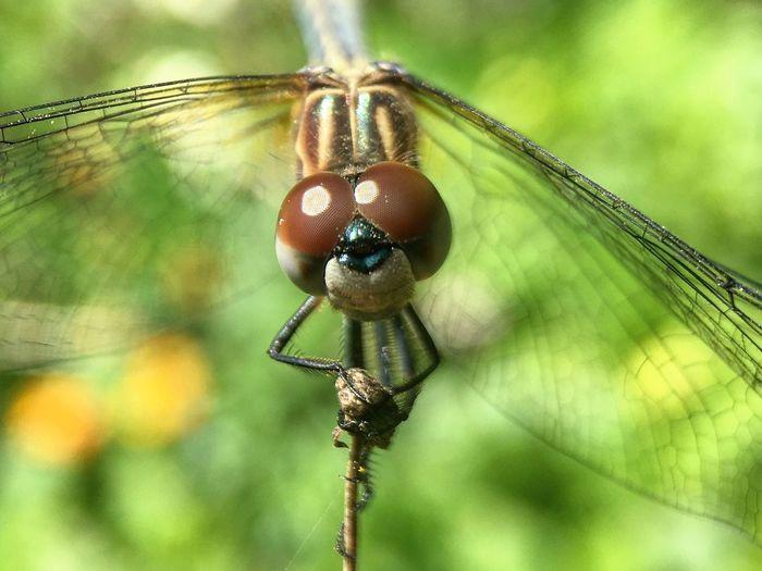 Dragonfly Macro Photography Macro Beauty Nature Photography