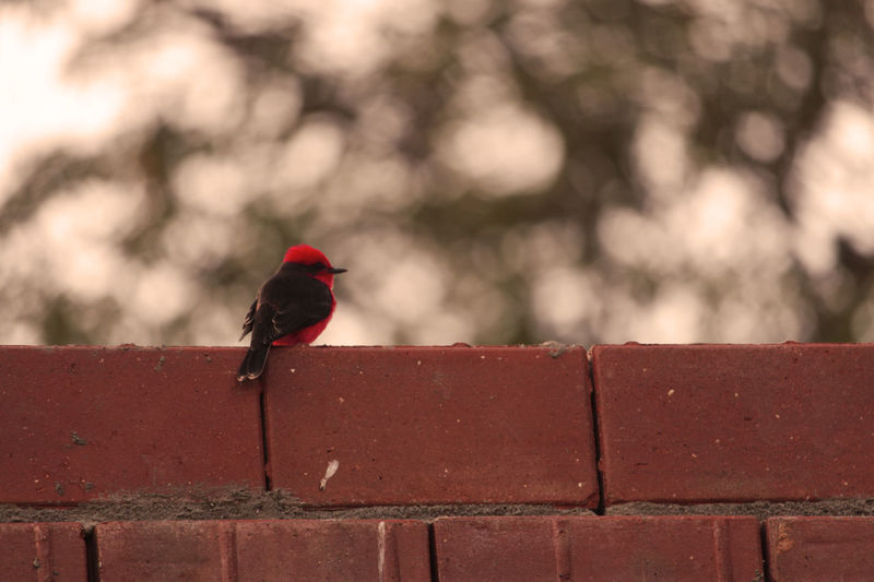 Bird Day Nature Nature Singing One Animal Outdoors Red Singing Songbird  TakeoverMusic