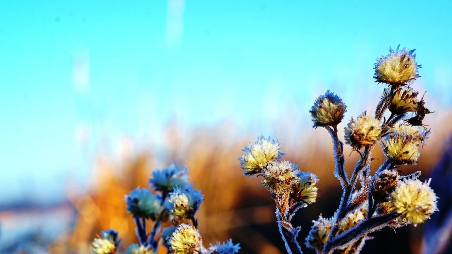 Tiny, puffy, dry aster flowers, covered in fog frost, yellowed by the morning light 43 Golden Moments Beauty In Nature Blue Sky Botany Cold Contrasting Colors Depth Of Field Dry Flower  Flower Flower Head Fragility Frost Morning Morning Light Nature Selective Focus Stem Wildflower Yellow