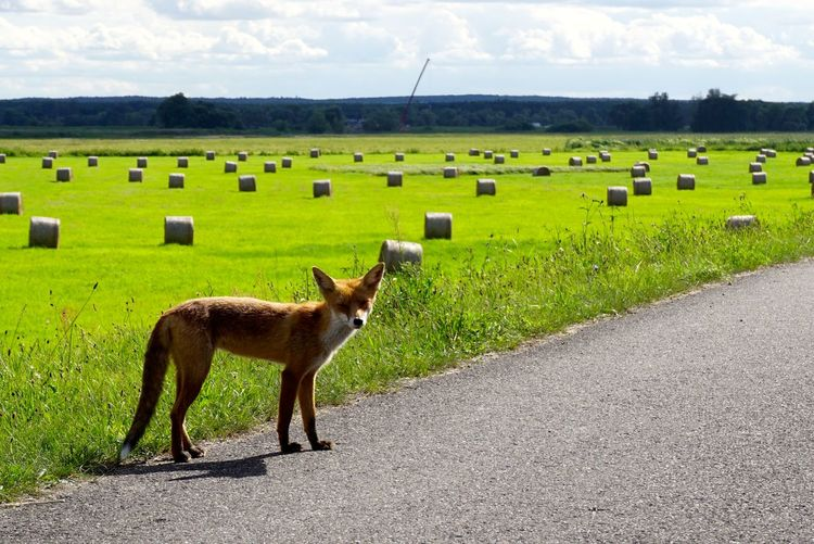 Beauty In Nature Cloud - Sky Day Domestic Animals Field Fox Fox🐺 Fuchs Grass Green Color Landscape Mammal No People Rotfuchs Rural Scene Sky The Way Forward Showcase August Showcase August 2016