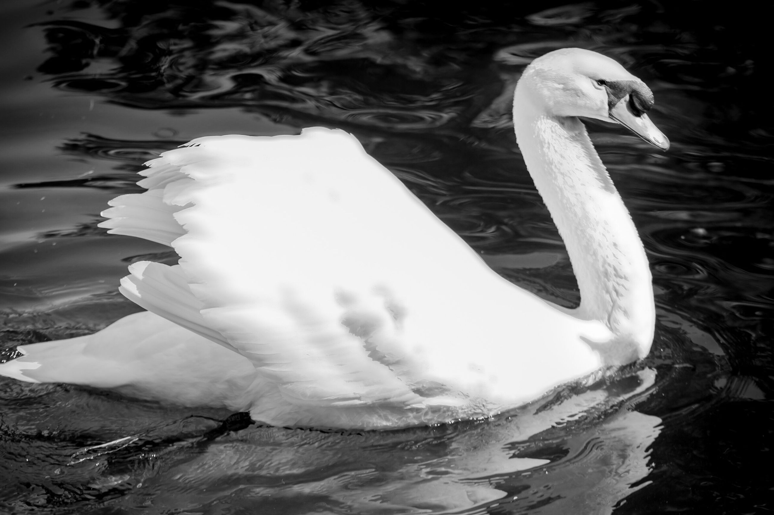 bird, white color, one animal, animals in the wild, animal themes, swan, water, nature, no people, close-up, outdoors, day, beauty in nature