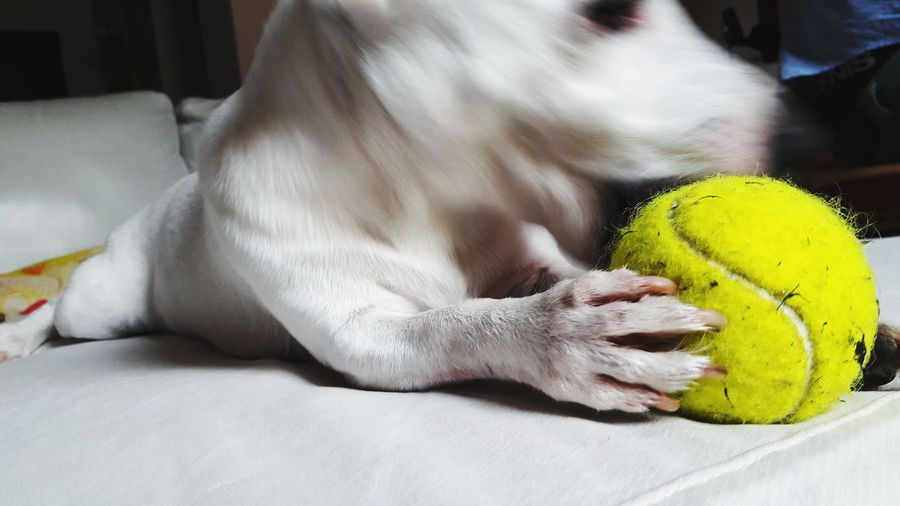 white dog Dogs Of EyeEm Dog Love Dogslife Dogphoto White Background White Color Jack Russell Terrier Jack Russell Dog Portrait Tennis Tennis Ball Pets Dog Sport Ball Close-up Domestic Animals Pet Bed Terrier