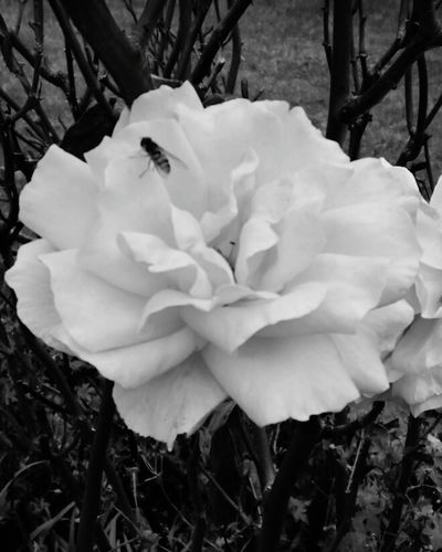Greyscale Garden Photography Closeup Insects  Roses Rosebush Thorns🌹 Plant Wildlife & Nature