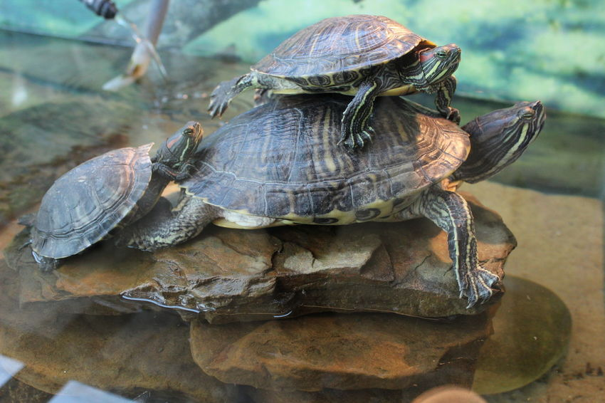 Animal Themes Animal Wildlife Animals In The Wild Close-up Day Focus On Foreground Nature No People One Animal Outdoors Red Eared Slider Turtle Reptile Tank Tortoise Tortoise Shell Turtle Turtle 🐢 Turtles