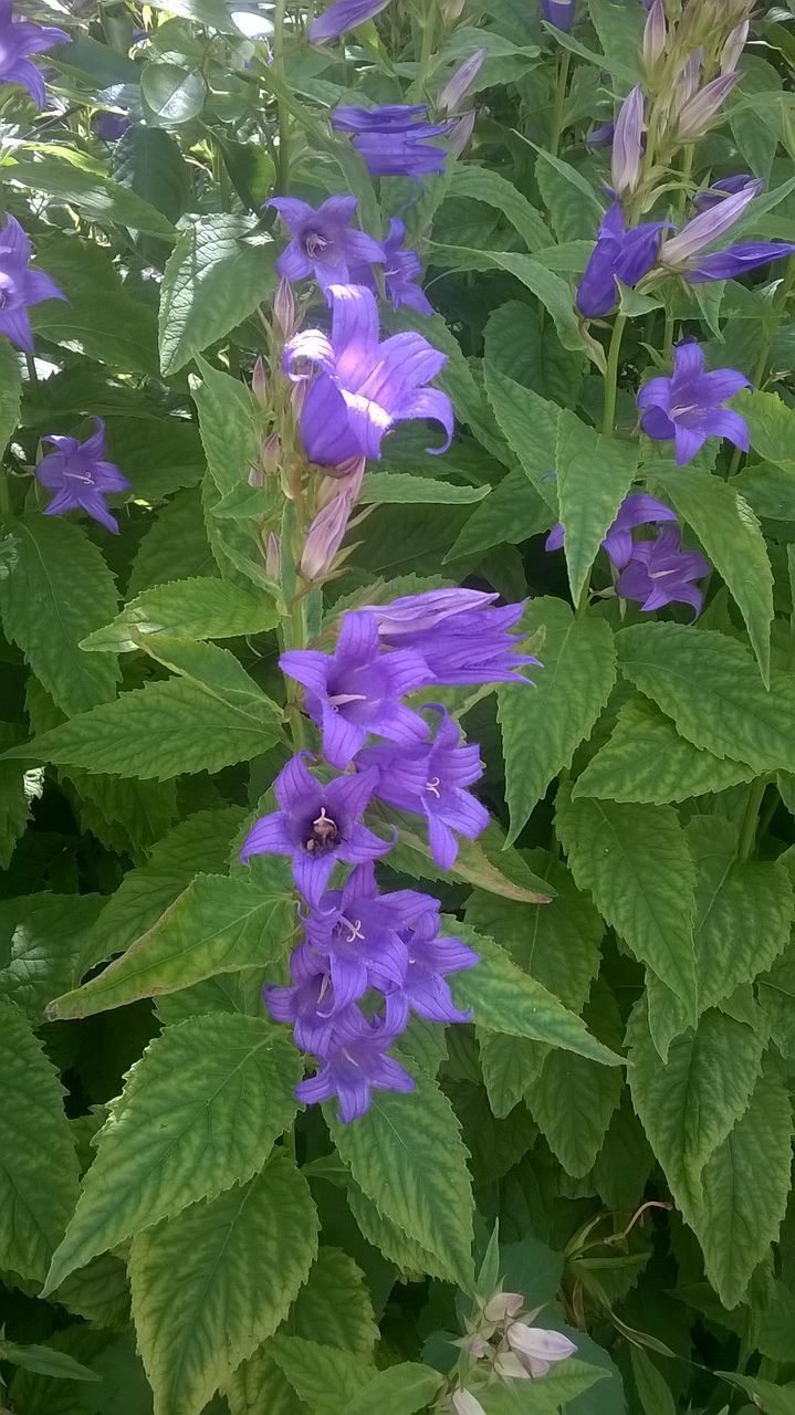 plant, flower, beauty in nature, flowering plant, vulnerability, fragility, growth, freshness, plant part, purple, leaf, nature, petal, green color, close-up, inflorescence, no people, flower head, day, outdoors, flower arrangement