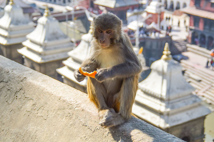 Free roaming Rhesus Macaques in Pashupatinath temple The Week on EyeEm Rhesus Macaque Free Range Travel Photography Place Of Worship UNESCO World Heritage Site Tourism Tourist Attraction  Wanderlust ASIA Travel Destinations Ancient Architecture Animal Wildlife One Animal Animal Themes Outdoors Day Monkey An Eye For Travel Sunlight Architecture