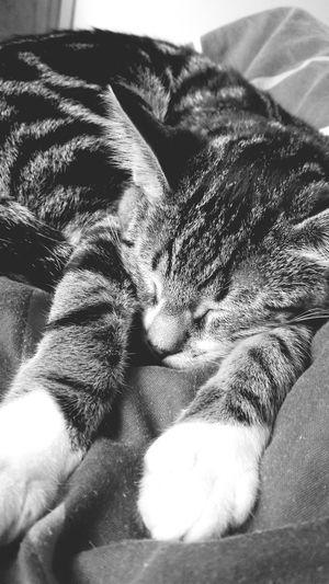 Kitten Billy Cute Sleeping Cuddles Love Pets Family