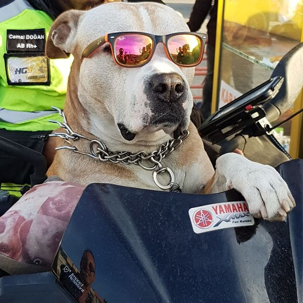 Handsomedog Pets Dog Sitting Car Pit Bull Terrier Close-up