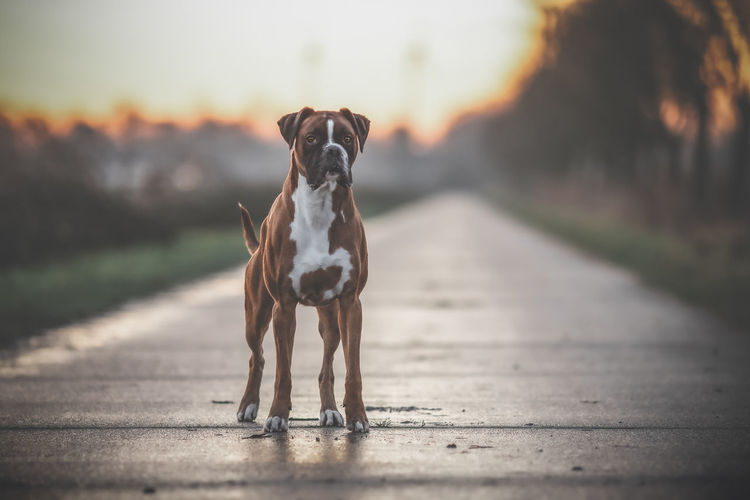 Portrait of dog standing on footpath during sunset