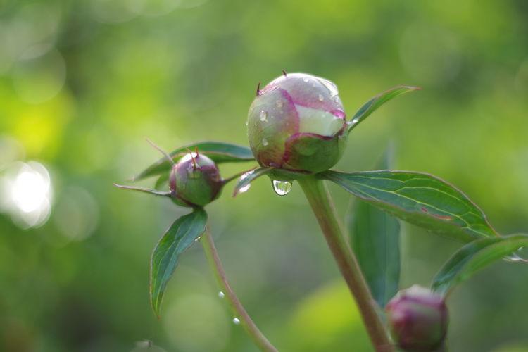 Close-up of wet pink flower buds