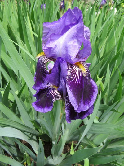 Close-up of purple iris blooming outdoors