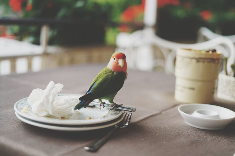 Bird Plate Food Table Eating One Animal Parrot Day No People Outdoors Animal Themes Close-up Tavolo Lago Di Como, Italy Sony A7RII Sony A7rm2 Animals In The Wild Food And Drink Animal Wildlife Sonyalpha Pappagallo Parrots Of Eyeem Pet Portraits Pet Photography