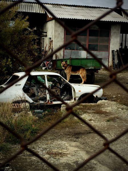 Animal Themes Outdoors Madmax Dog