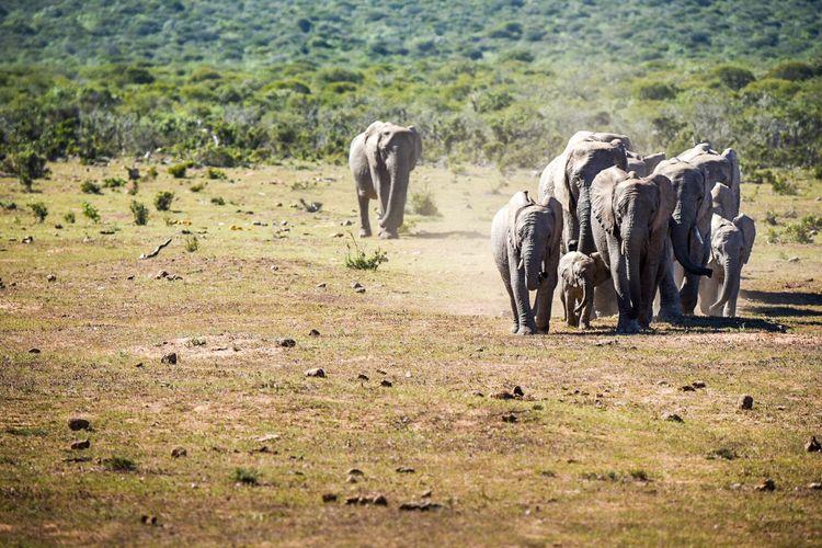 Elephants on landscape