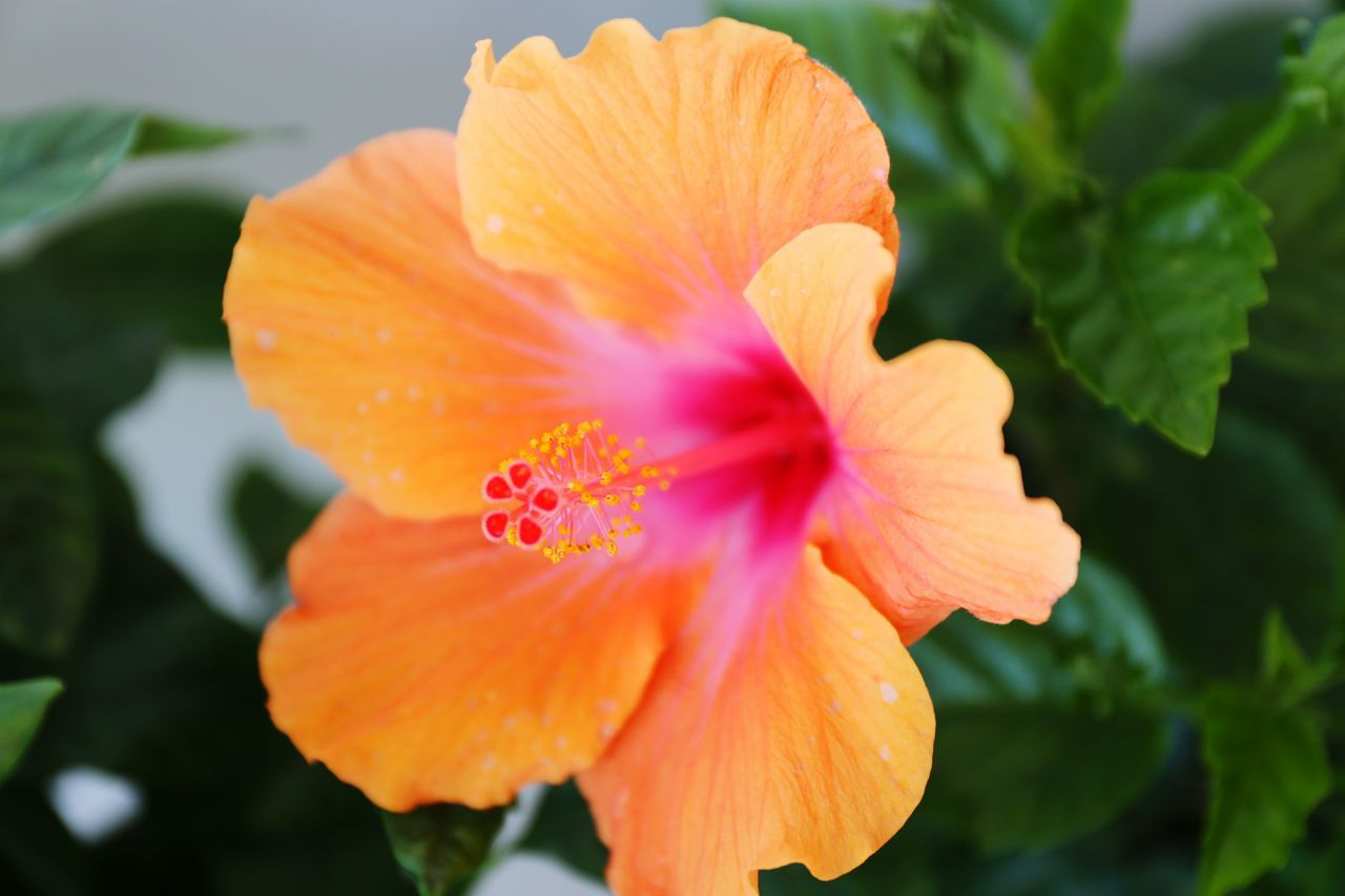 flower, petal, fragility, flower head, orange color, beauty in nature, freshness, growth, nature, blooming, plant, no people, focus on foreground, close-up, leaf, outdoors, day, hibiscus