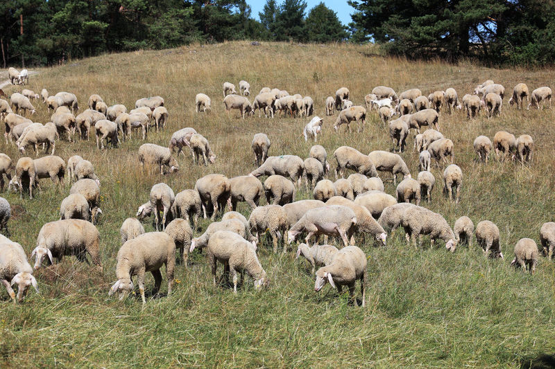 Grazing Sheep Pasture Agriculture Animal Animal Themes Domestic Domestic Animals Field Flock Of Sheep Grass Grazing Group Of Animals Herbivorous Herd Land Landscape Large Group Of Animals Livestock Mammal Nature No People Outdoors Paddock Pets Plant Sheep Sheeps Vertebrate