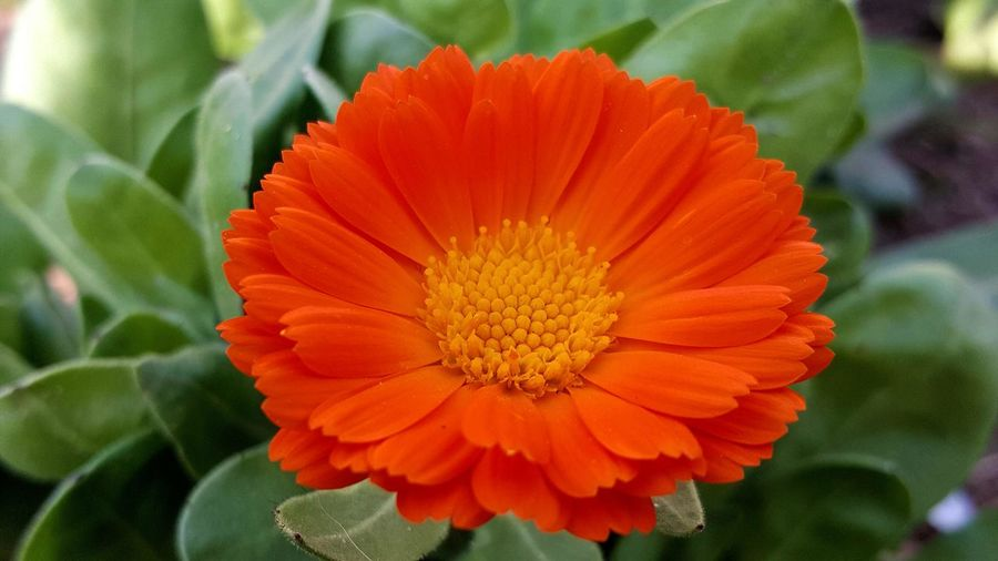 Green And Orange Colour One Flower Head Medical Flower Flower Head Flower Marigold Petal Poppy Springtime Orange Color Pollen Close-up In Bloom Blossom Botany Focus Blooming