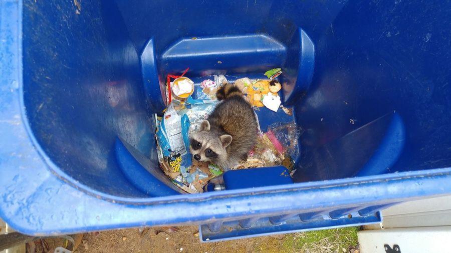 trash picker Sad Raccoon Cute Traped Raccoon Traped Trash Can Raccoon Trash Picker Pest