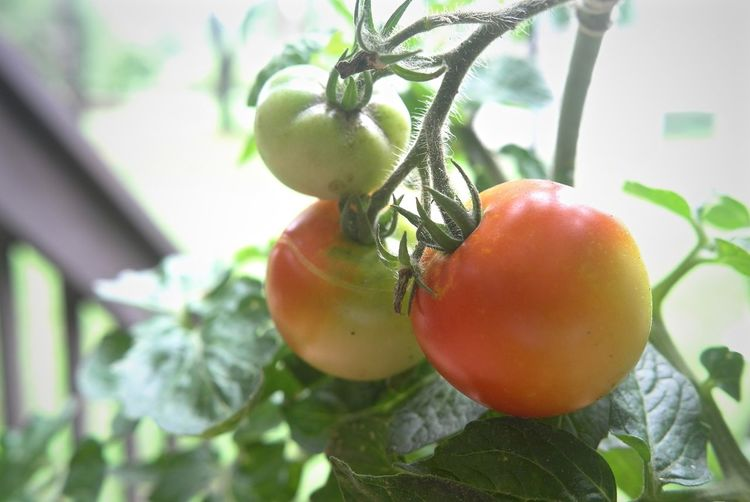 Food Fresh Vegetables Fresh Veggies Garden Healthy Eating Leicacamera Ripe Ripe On The Vine Tomato Tomato Plant Tomatoes Vegetable Garden