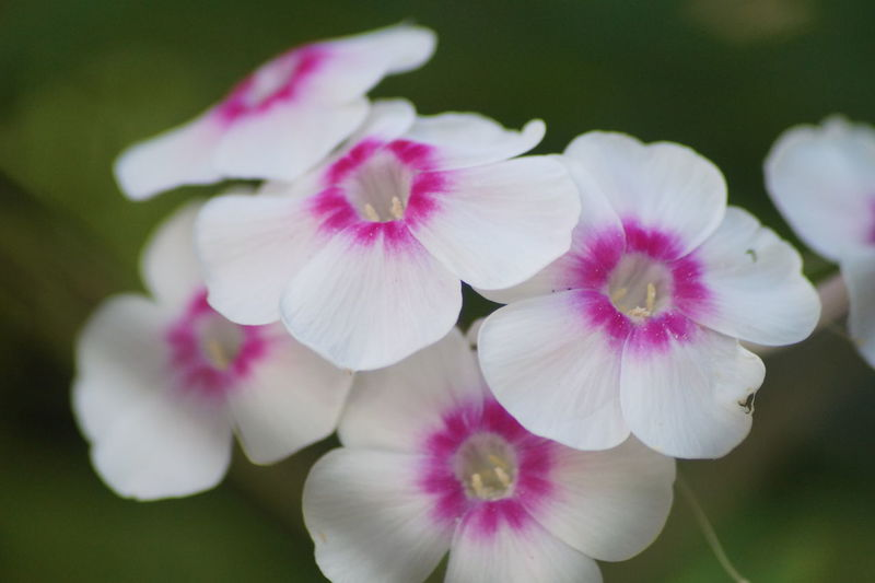 Beauty In Nature Flower Focus On Foreground Freshness Growth Pink Color Softness White Color