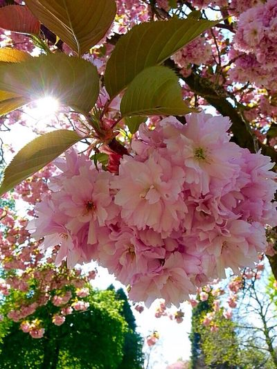 Spring Sun Cherry Blossoms Pink Color Leaf 🍂 Trees And Sky Beauty In Nature Branches And Sky