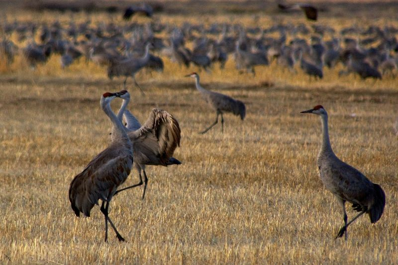 Del Norte, Colorado Animal Themes Animal Wildlife Animals In The Wild Bird Day Grass Mammal Nature No People Outdoors Safari Animals Sandhill Cranes