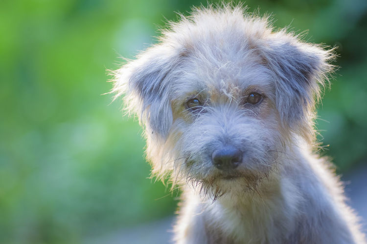 Close-Up Portrait Of Hairy Puppy