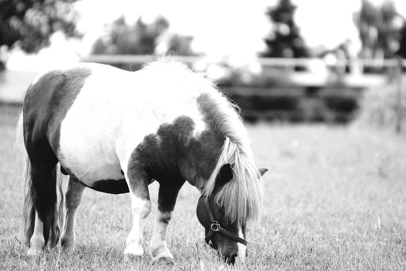 Blackandwhite Black And White Collection  Blackwhite Black & White Black And White Black&white Black And White Photography EyeEm Gallery Landscape EyeEm Best Shots Fotography Germany Photos Official EyeEm © Heilbronn Germany Focus On Foreground Monochrome Horse Photography  Horsesofinstagram Animal Photography Animal Portrait Black And White Portrait Horses Blackandwhitephotography