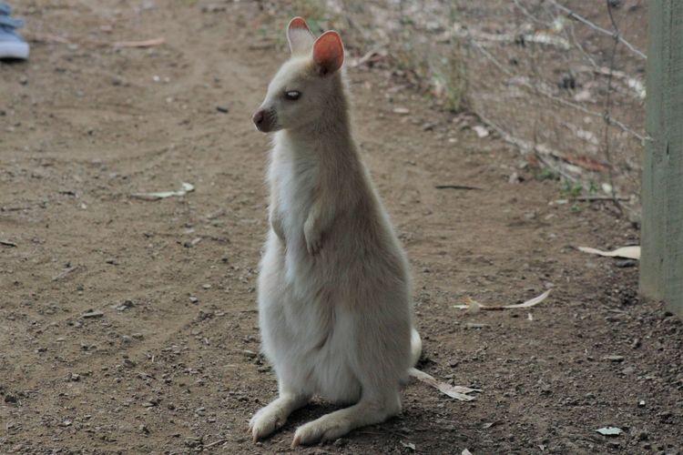 Hobart Animal
